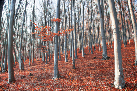 Autumn beech forest with red dried leaves