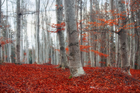 Autumn beech forest with bright dried red carpet of leaves
