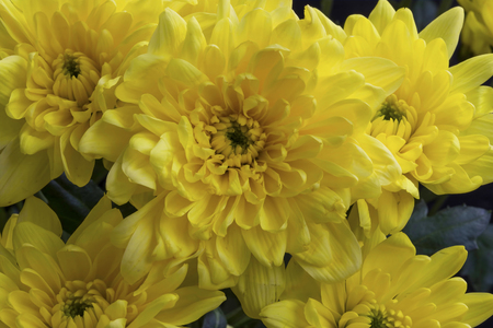 Yellow chrysanthemum flowersbeautiful petals full flowers stock stock photo yellow chrysanthemum flowersbeautiful petals full flowers mightylinksfo
