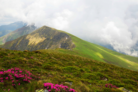 carpathians: Foggy mountain ridge landscape , scenic view on top of mountains with Rhododendron flowers in Carpathians, Romania Stock Photo