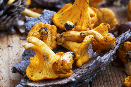 Chanterelle mushrooms freshly picked , edible yellow mushrooms