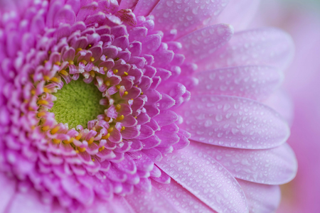 Beautiful pink flower macro style with water drops on petals, gerbera flower , floral background