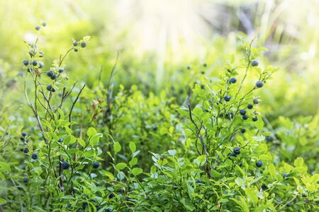 Fresh organic forest blueberries, healthy natural berries in the forest Imagens