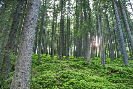 Fir tree forest landscape with green vegetation, nature landscape