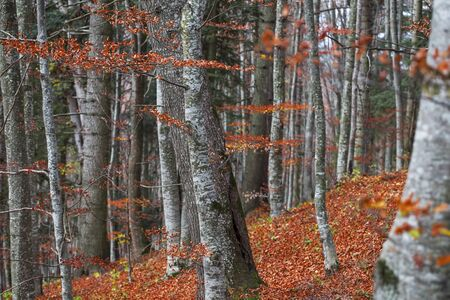 Autumn forest , beautiful scenic fall landscape in the beech forest with dried leaves Imagens