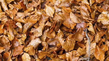 Close up of dried beech tree leaves, top view of autumn dried leaves texture