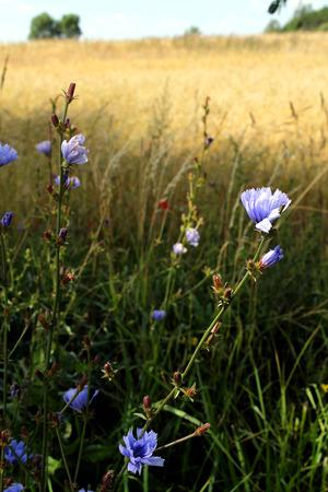 field of flower: Field flower on wheat background