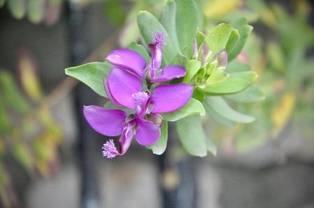 Decorative Polygala myrtifolia lila colored in garden Stock fotó