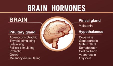 human brain hormones information poster 向量圖像