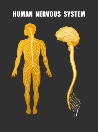 human nervous system educational scheme