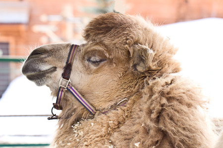 reins: Camel head with reins, close-up Stock Photo