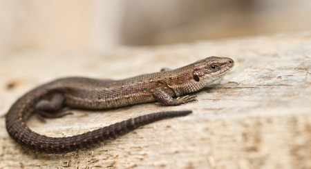 viviparous lizard: Young lizard is on a wooden board Stock Photo