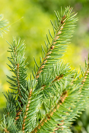 Sprig of young spruce forest