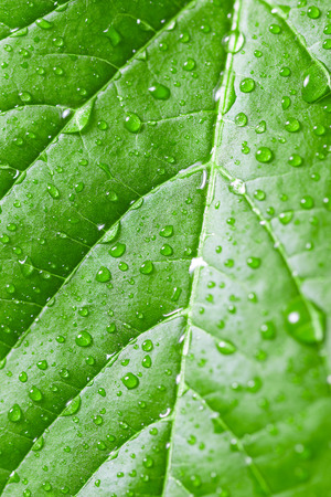 Green leaf with water drops. Selective focus.  Can be used as background