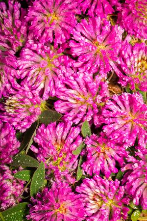 trifolium: Trifolium pretense.  Can be used as background