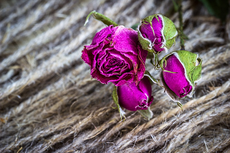 Withered dried roses on the background of the rope