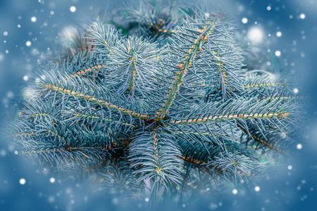 fir  tree: Fir tree, background for christmas design. Christmas Card