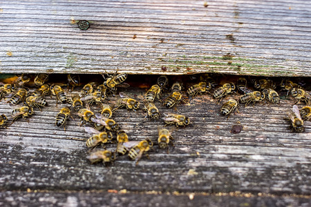 going in: Bees are going in and out of their beehive,  close up