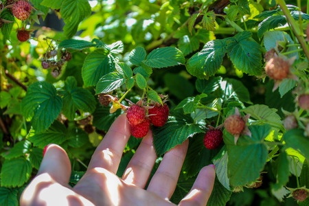 picking hand: hand picking ripe berries of raspberries. Woman picking blackberries on a farm