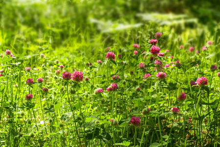 red clover: Red clover flowers on the field. Summer meadow Stock Photo