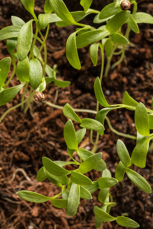 transplants: The green shoots of the seedlings emerge from the soil