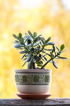 Clay pot of Crassular Ovata ,Green Jade Succulent Plants , Lucky plant or Money Tree on yellow background Stock Photo