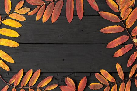 Colorful fall maple leaves on black wooden background. Life cycle of fall leaf. Thanksgiving holidays concept. yellow and red autumn leaves. Top view, copy space Reklamní fotografie
