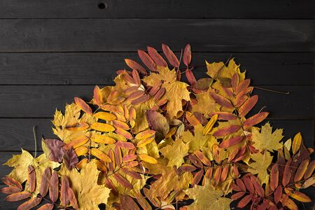 Colorful fall maple leaves on black wooden background. Reklamní fotografie
