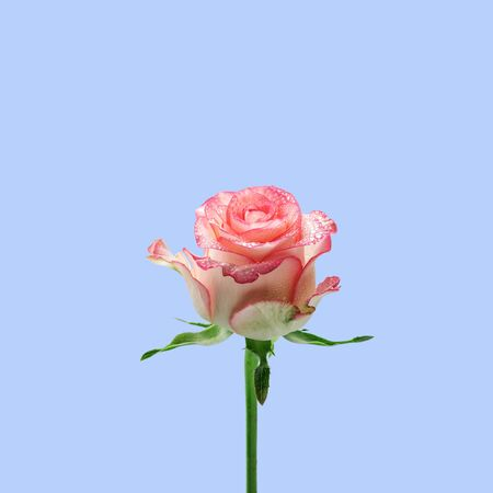Light pink rose isolated on the light blue background. Flowers composition. Floral blue background with copy space. Minimalism fashion style
