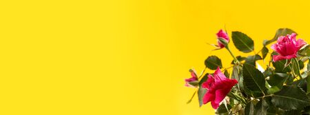Red rose flowers on yellow background. Flowers composition. Floral yellow background with copy space. Flat lay, top view. Minimalism fashion style