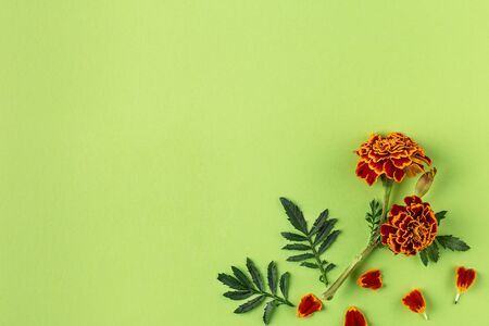 Flat lay composition with orange and yellow marigold flowers on a green pastel paper background, with copy space. Trendy minimal style. Top view, Flat lay.