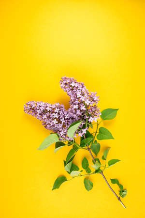 lilac blossom branch view. Spring lilac branch on a bright yellow background. Spring minimal concept.