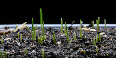 Oat Grass growing on black background. Germination and growth of grass.