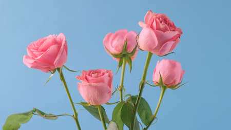 Bouquet of pink roses on blue background. Birthday, Mothers, Valentines, Womens, Wedding Day concept. 写真素材