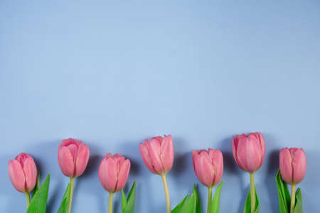 Pink tulips flowers on blue background. Card for Mothers day, 8 March, Happy Easter, Valentines Day