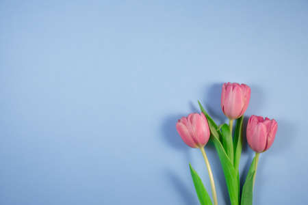 Pink tulips flowers on blue background. Card for Mothers day, 8 March, Happy Easter, Valentines Day, Birthday.