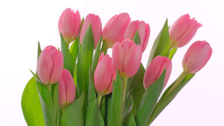 Pink greeting card for Mothers day, Womens Day, 8 March with Pink tulips flowers on white background.