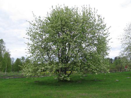 meadowland: bird cherry in blossom on swedish nationalday