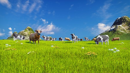 dairy cows: Herd of dairy cows graze on a spring alpine meadow with mountains and blue sky on the background