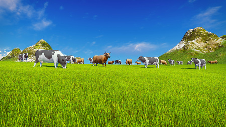 herd: Herd of dairy cows graze on a green alpine meadow with mountain peaks on the background. Low angle view.