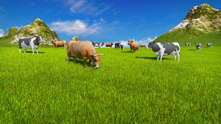 verdant: Dairy cows graze on a verdant alpine pasture at sunny day. Mountain peaks and blue sky on the background
