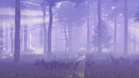 misty forest: Misty pine forest with thick fog and magic sun rays shining through the tree silhouettes at dawn or dusk