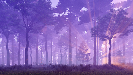 misty forest: Misty pine forest with sun light rays and fog at sunset