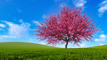 Spring landscape with single sakura cherry tree in full blossom on field covered with fresh green grass at sunny day. Springtime season 3D illustration from my own 3D rendering file.