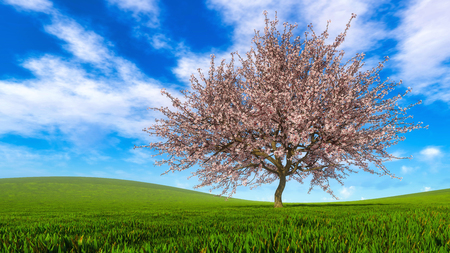 Spring landscape with single sakura cherry tree in full blossom on a green hills covered with fresh grass at daytime. Springtime season 3D illustration from my own 3D rendering file.