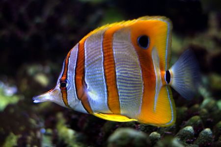Tropical fish №22 Stock Photo - 1063630