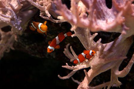 tropical fish № 30 Stock Photo - 1078484