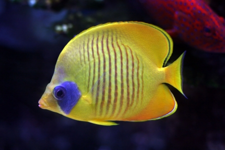 tropical fish № 33 Stock Photo - 1078488