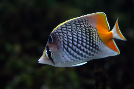 tropical fish № 43