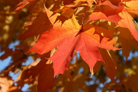 Maple leaves in the autumn photo